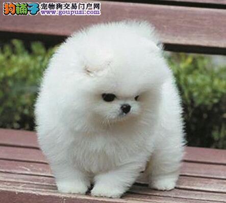 南京买精品博美犬我们只注重品质包活包健康颜色可选