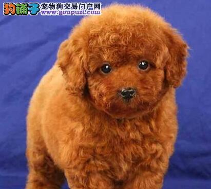 小卷毛可爱的金华泰迪犬火爆出售中带证书签协议
