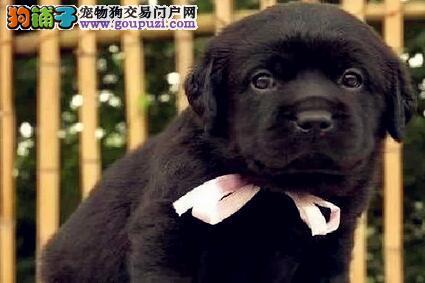 红河州繁殖售拉布拉多幼犬保纯种健康签订协议可看父母