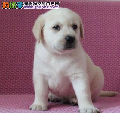 北京纯正奶白色拉布拉多犬 包健康可签协议有保障