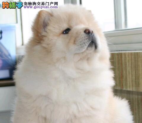 黄石专业繁殖出售松狮幼犬宝宝 健康多色可选