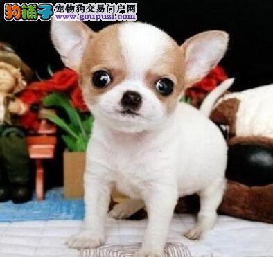 吉安自家养多只吉娃娃幼犬出售苹果头品相超正已做疫苗