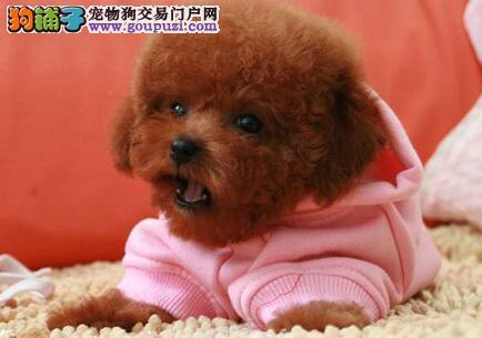 上海家养纯种红泰迪犬咖啡色泰迪灰色泰迪包健康15天
