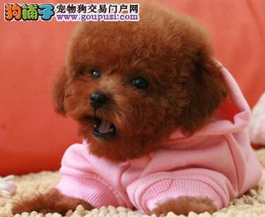 洛阳正规狗场出售疫苗驱虫齐全的泰迪犬幼犬 非诚勿扰
