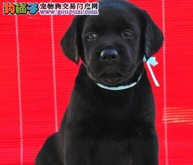 北京纯种健康拉布拉多全城送犬到家拉拉现场测验健康