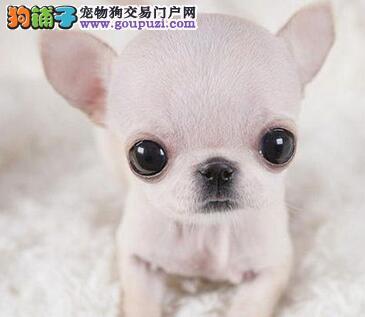 精品吉娃娃幼犬一对一视频服务买着放心金牌店铺有保障