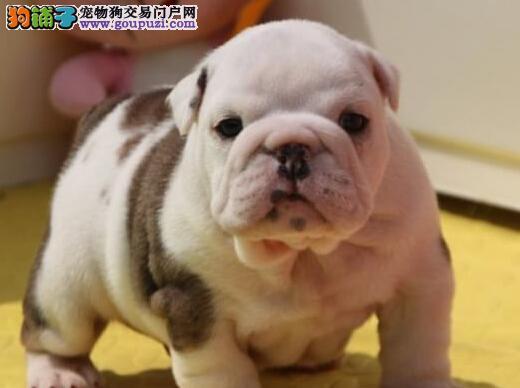 上海狗场繁殖出售好品相的斗牛犬 大鼻筋螺旋尾巴2