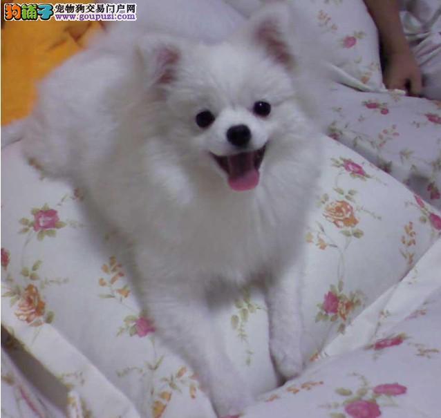 无锡犬舍直销精品银狐犬签协议包养活三个月可退换