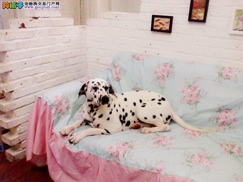 青岛出售优质斑点狗 保证健康 成活 三年质保