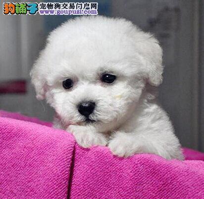 重庆市出售品质最优 价位最低 纯种比熊幼犬