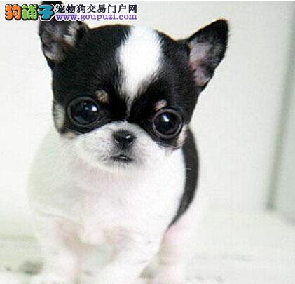 茶杯体吉娃娃幼犬连云港犬舍繁殖出售CKU认证售后保障