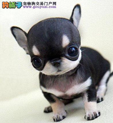 直销苹果头吉娃娃西安自家犬舍专业繁殖 可赠送狗用品