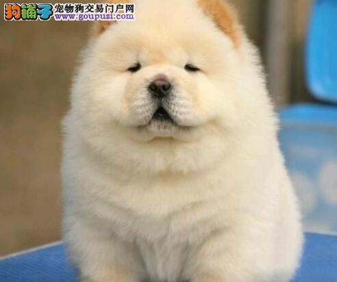 权威机构认证犬舍 专业培育松狮幼犬赛级品质保障