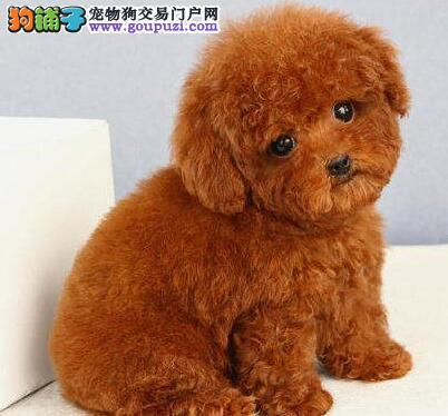 安庆自家养纯正泰迪熊玩具犬小体型呆萌泰迪幼犬出售