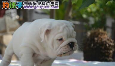 英国斗牛犬石家庄CKU认证犬舍自繁自销优质售后服务3