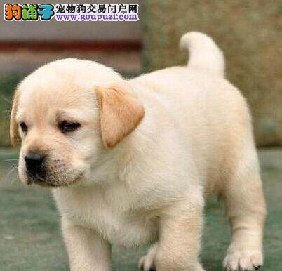 纯种拉布拉多宝宝找主人欢迎爱狗人士上门选购