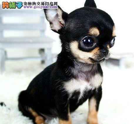 天津犬舍繁殖纯种吉娃娃苹果头 赛级品质 品位时尚