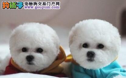 北京售美系小体爆毛比熊棉花糖 白色粉扑