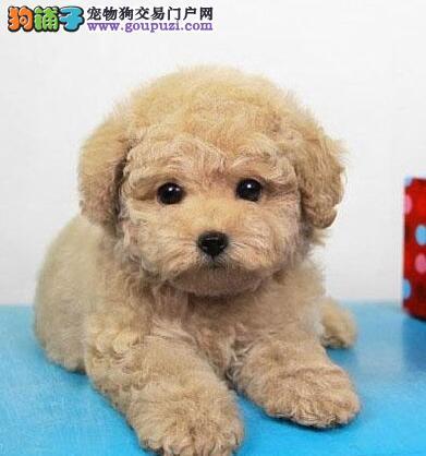 盐城狗场直销泰迪犬卖健康宠物好养是硬道理泰迪熊包换