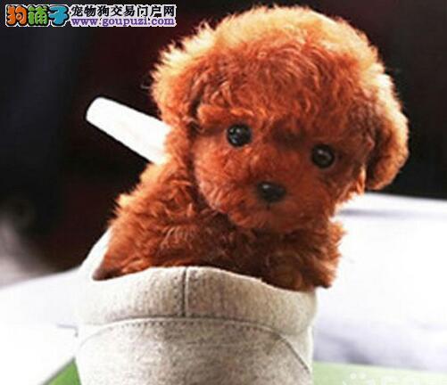 沈阳犬舍低价出售茶杯玩具血系的泰迪犬 深红色品相好