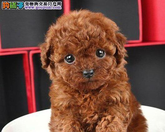 家养极品泰迪犬出售 可见父母颜色齐全真实照片视频挑选2