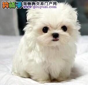 深圳哪里有狗场繁育出售精品马尔济斯犬3