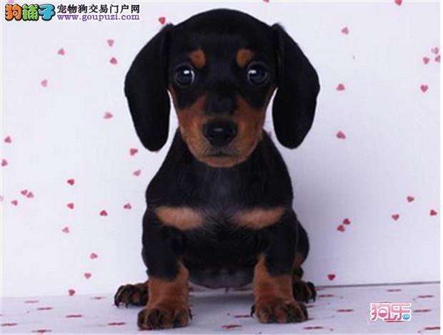 迷你纯种腊肠幼犬接受预定 欢迎选购