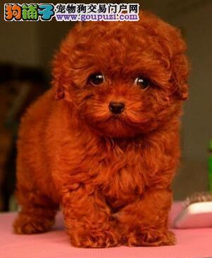 泰迪犬患上急性肠炎开始拉肚子了很频繁