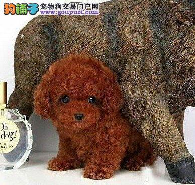 转让昆明泰迪幼犬 实物拍摄 请您放心选购幼犬1