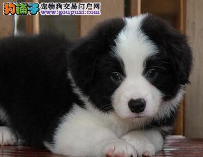 欢迎来北京购买纯种边境牧羊犬 保品质可当面签订合同