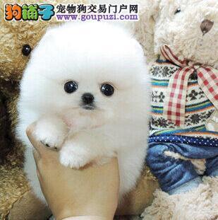 广州博美幼犬哈多利俊介小体球体品种齐全可上门看狗