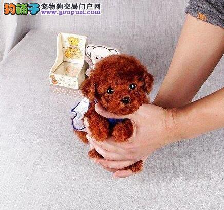 转让昆明泰迪幼犬 实物拍摄 请您放心选购幼犬2