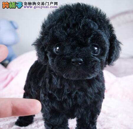 杭州韩系超小体玩具犬泰迪熊宝宝售品质保终身签协议1