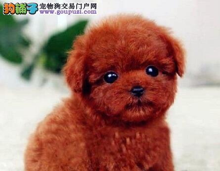 杭州韩系超小体玩具犬泰迪熊宝宝售品质保终身签协议2