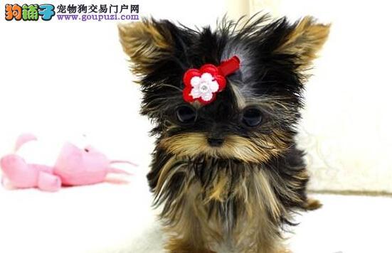 赛级纯种约克夏幼犬 约克夏犬 约克夏宝宝0.0