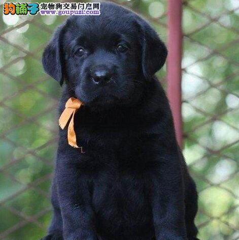 专业养殖 品质保证出售纯种 拉布拉多 宝宝幼犬
