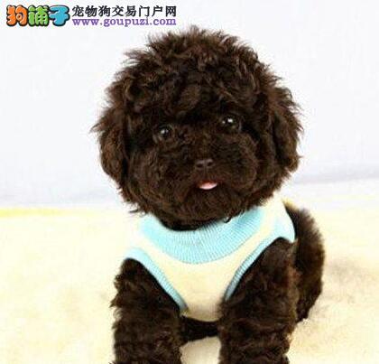 极品韩国血统泰迪犬特价转让 欢迎来广州犬舍购买2