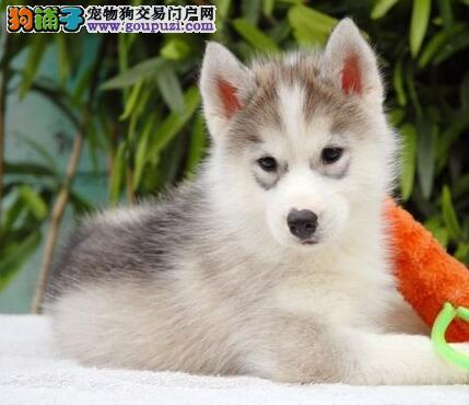 诚信狗场繁殖出售纯种北京哈士奇 已做疫苗欢迎选购图片