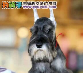 多只高品质北京雪纳瑞低价促销品质有保证售后完善图片