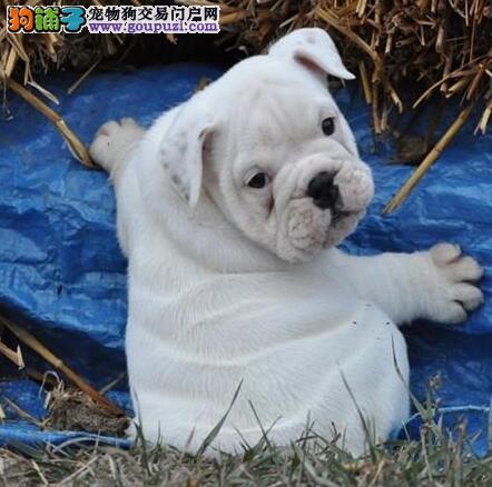 珠海英国斗牛犬出售 憨态可掬健康包活可签署质保协议