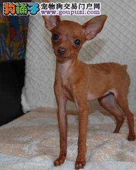 小鹿犬杭州CKU认证犬舍自繁自销价格美丽品质优良
