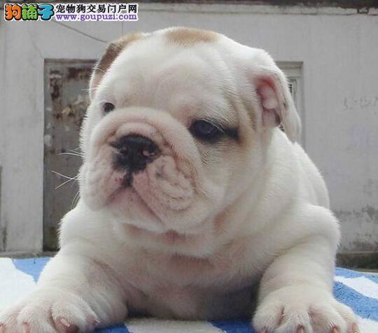 赛级品质的南京斗牛犬低价出售 品质保障 终身完美售后