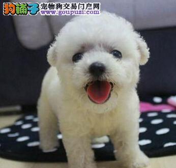 最高品质最低价格 精品泰迪西安出售 只卖良心狗无染色