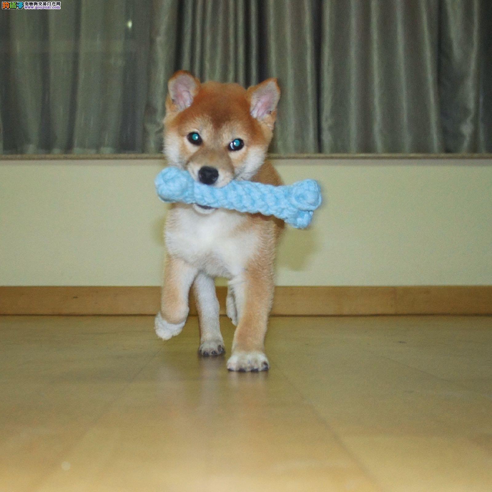 出售日本柴犬 头版好 骨量大疫苗齐全