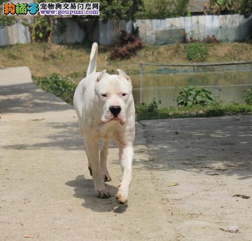 贵港市售杜高犬幼犬 宽头大嘴阿根廷獒犬 防疫全多窝选