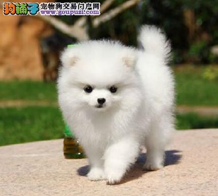 血统纯正的佛山博美犬低价出售 品相好毛色亮