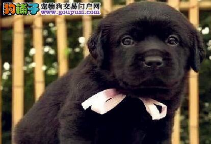 赛级拉布拉多犬专业繁殖基地欢迎选购