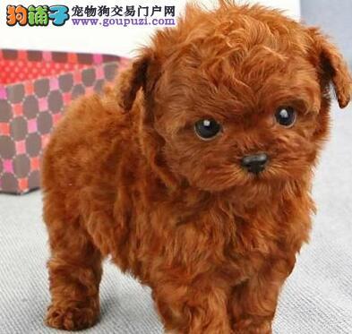 佛山犬舍直销多种颜色的泰迪犬 可随时连线咨询我们