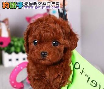 昆明出售超萌微小玩具体灰泰迪 超小茶杯泰迪犬幼犬