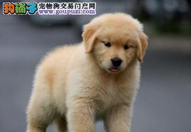 大骨架高品质西安金毛犬热销中 欢迎来犬舍直接购买
